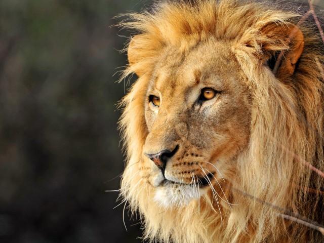 leo-the-lion-animal-cat-face-lion